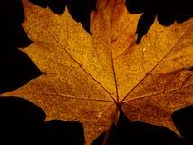 Une feuille d'arbre de sycomore Photographie stock libre de droits