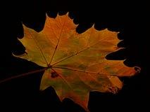 Une feuille d'arbre de sycomore Image libre de droits