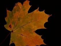 Une feuille d'arbre de sycomore Image stock