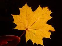 Une feuille d'arbre de sycomore dans la main Photos stock