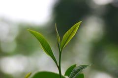 Une feuille de thé dans le jardin de thé asiatique dans l'Inde d'Assam Photographie stock libre de droits