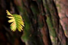 Une feuille des arbres de Metasequoia Photos libres de droits