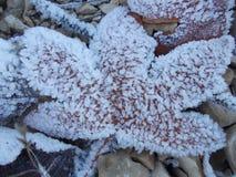 Une feuille morte glaciale en hiver Photo stock