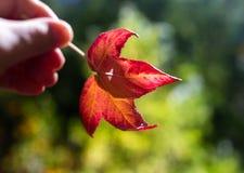 Une feuille rouge étant tenue pendant l'automne d'automne à l'Australie du sud élevée de jardins botaniques de bâti le 16 avril 2 images libres de droits