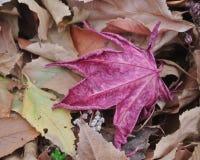 Une feuille rouge simple d'automne en plan rapproché Photographie stock libre de droits