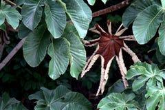 Une feuille sèche de l'embaúba parmi les feuilles vertes photo stock
