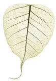 Une feuille tombée sèche transparente verte grise Photo stock