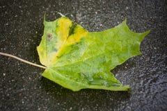 Une feuille verte de marple sur l'asphalte noir humide Image stock