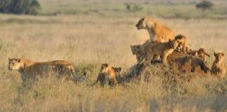 Une fierté des lions Photographie stock libre de droits