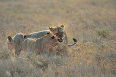 Une fierté des lions Photos stock