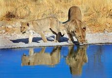 Une fierté des lions buvant d'un point d'eau Images libres de droits