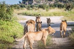 Une fierté des lions marchant sur la route Photographie stock