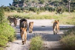 Une fierté des lions marchant sur la route Image libre de droits