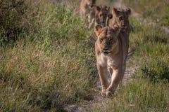 Une fierté des lions marchant sur la route Images libres de droits