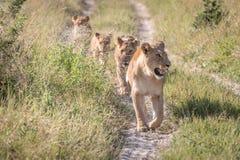 Une fierté des lions marchant sur la route Photos stock