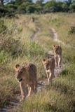Une fierté des lions marchant sur la route Images stock