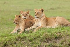 Une fierté des lions sur l'herbe images stock