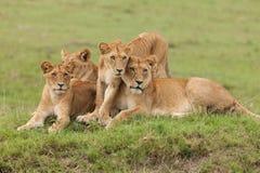 Une fierté des lions sur l'herbe photo stock