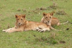 Une fierté des lions sur l'herbe photos libres de droits