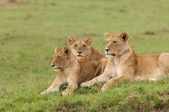 Une fierté des lions sur l'herbe photos stock