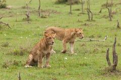 Une fierté des lions sur l'herbe photographie stock