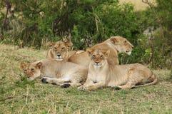 Une fierté du repos de lions Photos libres de droits