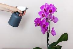 Une fille de fleuriste tient une bouteille avec le pulvérisateur de l'eau près d'une orchidée pourpre photo stock
