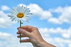 Une fille tient une grande camomille blanche dans les mains Concept de la vie phytotherapy et appréciante Photo libre de droits