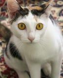 Une fin d'un chat de calicot photo libre de droits