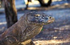 Une fin d'un dragon de Komodo, Komdo, Indonésie Photographie stock libre de droits
