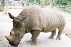 Une fin d'un rhinocéros/de rhinocéros femelle et de son veau apparence Image stock