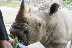 Une fin d'un rhinocéros/de rhinocéros femelle et de son veau apparence Photo libre de droits