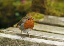 Une fin d'un Robin européen Images stock