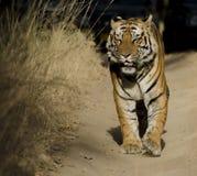 Une fin d'un tigre de Bengale masculin avec ses yeux fermés Image libre de droits
