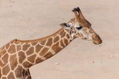 Une fin de girafe dans le sable photographie stock