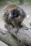 Une fin de lémur  Photo libre de droits
