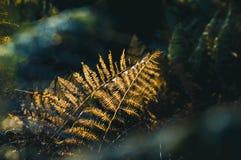 Une fin de la fougère de retour allumée par la belle lumière d'or un après-midi d'automne dans une région boisée anglaise photos libres de droits