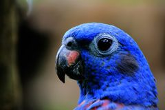 Une fin de la tête d'un perroquet dirigé bleu, pionus images libres de droits