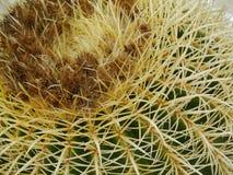 Une fin du cactus d'or de boule ou de baril images stock