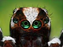 Plan rapproché sautant turc d'araignée Image libre de droits