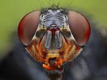 Fin de tête de mouche vers le haut Photos libres de droits