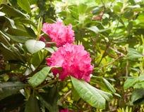 Une fin rouge lumineuse rosâtre magnifique d'extérieur de rhododendron sur un t Photographie stock libre de droits