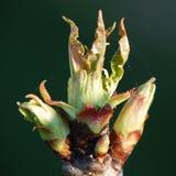 Une fin vers le haut d'image d'un bourgeon de cerise photo libre de droits