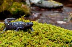 Salamandre repérée Photo libre de droits