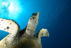 Une fin vers le haut d'une tortue de Hawksbill juvénile Photographie stock libre de droits