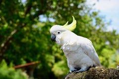 Une fin vers le haut de la photo d'un galerita soufre-crêté blanc de Cacatua de cacatoès, indigène vers l'Australie images stock