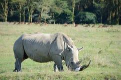 Une fin vers le haut de photo d'un rhinocéros/d'un visage blanc mis en danger, de klaxon et d'oeil de rhinocéros l'Afrique du Sud Photographie stock