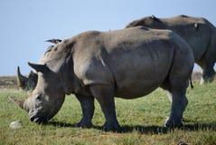 Une fin vers le haut de photo d'un rhinocéros/d'un visage blanc mis en danger, de klaxon et d'oeil de rhinocéros l'Afrique du Sud Image stock