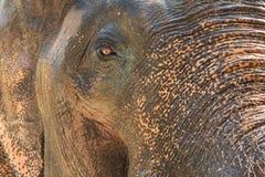 Une fin vers le haut de photo de des éléphants observent, des cils Images libres de droits