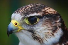Une fin vers le haut de portrait d'un faucon de harris Photo stock